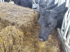 Kuh beim fressen