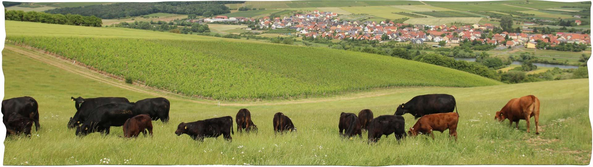 Angusrinder auf der Weide mit Eisenheim im Hintergrund